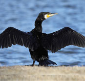 Feathers - Images - Great Cormorant